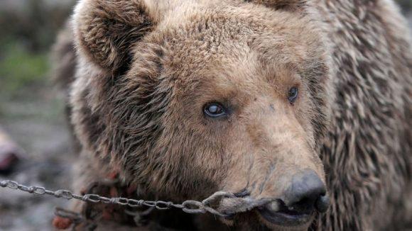 una delle torture degli orsi ballerini: l'anello al naso